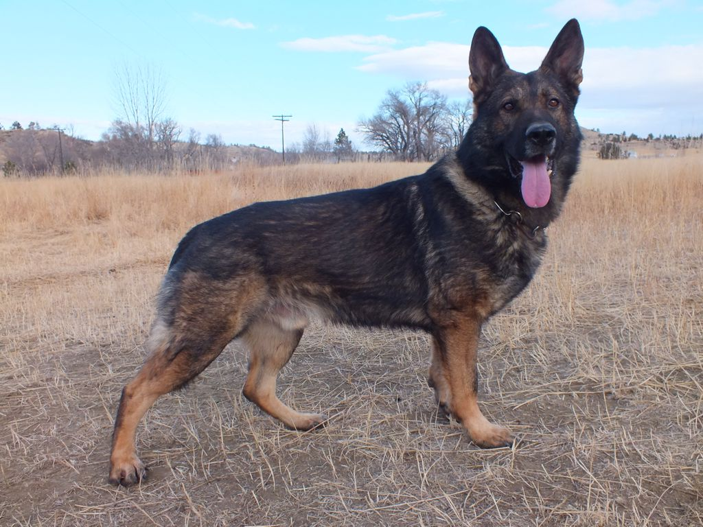 Ehret German Shepherds Our Dogs